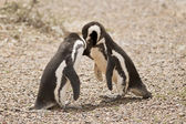 Two magellanic penguin playing — Stock Photo