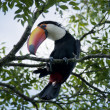 Постер, плакат: Toucan on a Branch