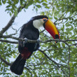 ������, ������: Toucan on a Branch