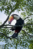 Toucan on a Branch — Stock Photo