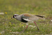 Southern Lapwing — Stock Photo