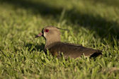 Southern Lapwing sitted on the Grass — Stock Photo