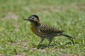 Striped Woodpecker on the Grass — Stock Photo