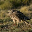 Female Cinereous Harrier with a Prey — Stock Photo