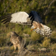 Male Cinereous Harrier attacking a Female — Stock Photo