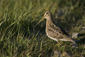 South American Snipe on the Grass — Stock Photo