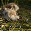 Stock Photo: Chick of Upland Goose