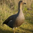 Female Upland Goose — Stock Photo