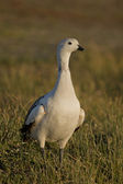 Male Upland Goose — Stock Photo