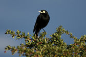 Male Spectacled Tyrant — Stockfoto