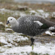 Male Upland Goose over the snow — Stock Photo