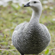 Stock Photo: Male Upland Goose over snow