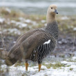 Female Upland Goose over the snow — Stock Photo