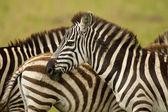 Zebra in Masai Mara — Stock Photo