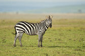 Zebra standing in the Savannah — Stock Photo