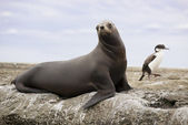 South American Sea Lion — Stock Photo