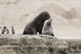 Couple of South American Sea Lions — Stock Photo