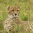 Cheetah in the Savannah — Photo