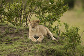 Young Lion in the Savannah — Stock Photo
