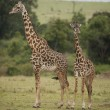 Two Giraffes in the Savannah — Stock Photo
