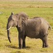Elephant in the Savannah - Stock Photo