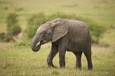 Vitello elefante nella savana — Foto Stock