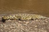 Crocodile près de la rivière mara — Photo