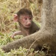 Stock Photo: Olive Baboon Cub