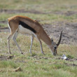 Gazelle in the Savannah — Stock Photo