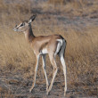 Young Gazelle in the Savannah — Stock Photo #23652285