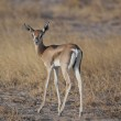 Young Gazelle in the Savannah — Stock Photo #23652291