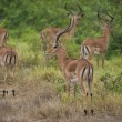 Group of Impalas in the Bush — Stock Photo