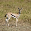 Young Gazelle in the Savannah — Stock Photo