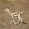Young Gazelle in the Savannah — Stock Photo #23652327