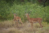 Two Impalas in the Bush — Stock Photo