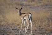 Junge gazelle in der savanne — Stockfoto