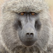 Portrait of an Olive Baboon — Stock Photo