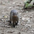 Mongoose — Stock Photo #23766983