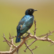 Stock Photo: Superb Starling on a Branch