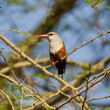 Grey-headed Kingfisher on a Branch — Stock Photo