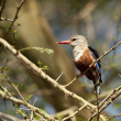 Stock Photo: Grey-headed Kingfisher on a Branch