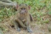Olive Baboon Cub — Foto de Stock