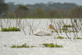 Great White Pelican on Naivasha Lake — Stock Photo