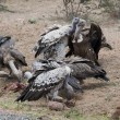 图库照片: White-Backed Vultures with Prey