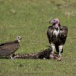 Two Lappet-faced Vultures with Prey — Stock Photo
