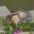 Stock Photo: Northern Palm Squirrel feeding