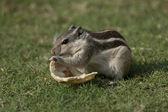 Northern Palm Squirrel feeding — Foto Stock