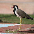 Red Wattled  Lapwing — ストック写真