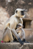 Gray Langur protecting its Cub — Stock Photo