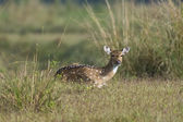 Chital Deer — Stock fotografie